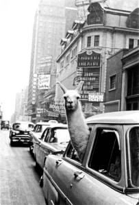 1957-A-Llama-in-Times-Square-by-Inge-Morath