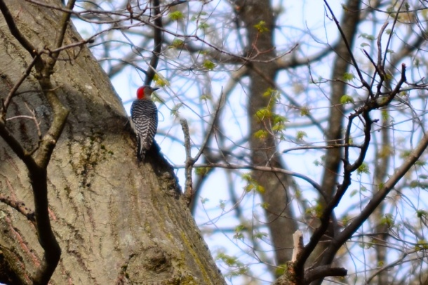redwoodpecker