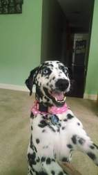 Bella the smiling dalmatian