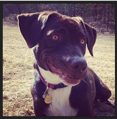 """Holly """"the smiling dog"""". 3 year old lab-pointer rescue."""