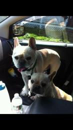 Maximus and Mya 6 and 7 French Bulldogs!