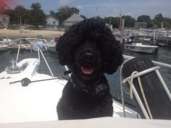Rondo 4 year old Portuguese Water Dog