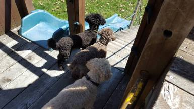 The poodle brigade: Roger, Turbo and Billy