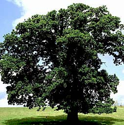 american chestnut tree.jpg