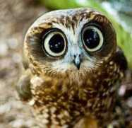 rsz_1confused_owl