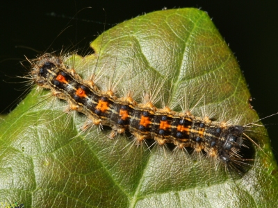 gypsy-moth-caterpillar