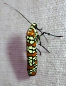 2401 --- Atteva aurea --- Ailanthus Webworm Moth
